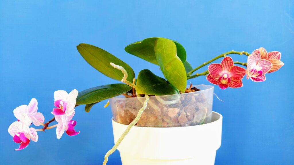 Phalaenopsis mini.