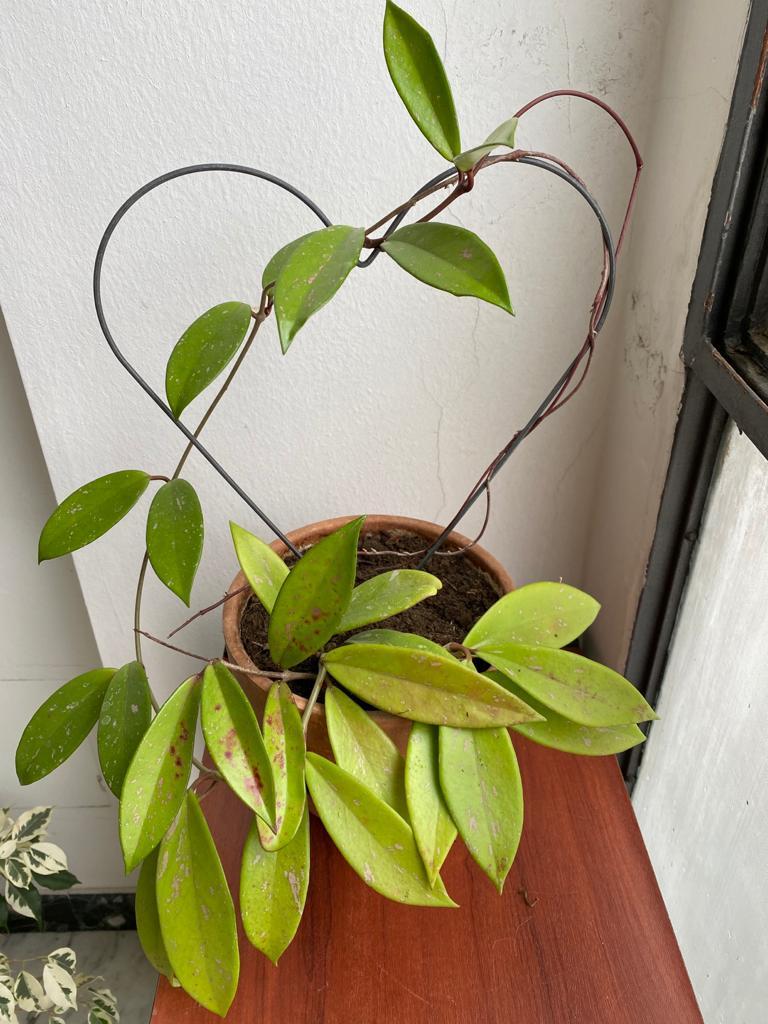 Hoya pubicalyx, aprile 2020.
