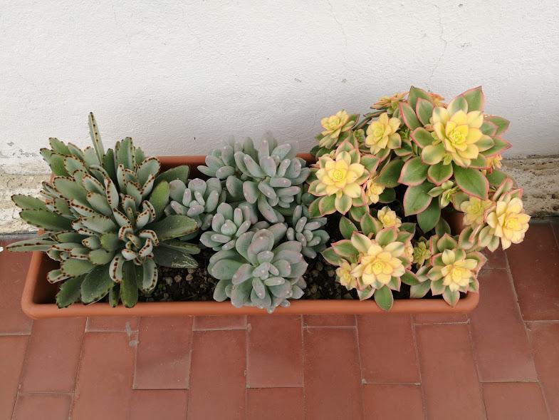 Succulente da sinistra: Kalanchoe tomentosa, Pachyphytum glutinicaule, Aeonium kiwi.