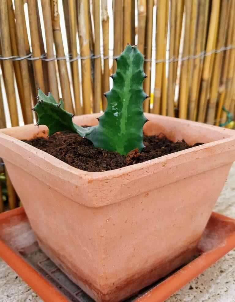 Talea di euphorbia trigona, piantata dopo una settimana dal taglio.