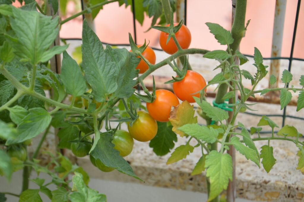 Pomodorini arancioni.