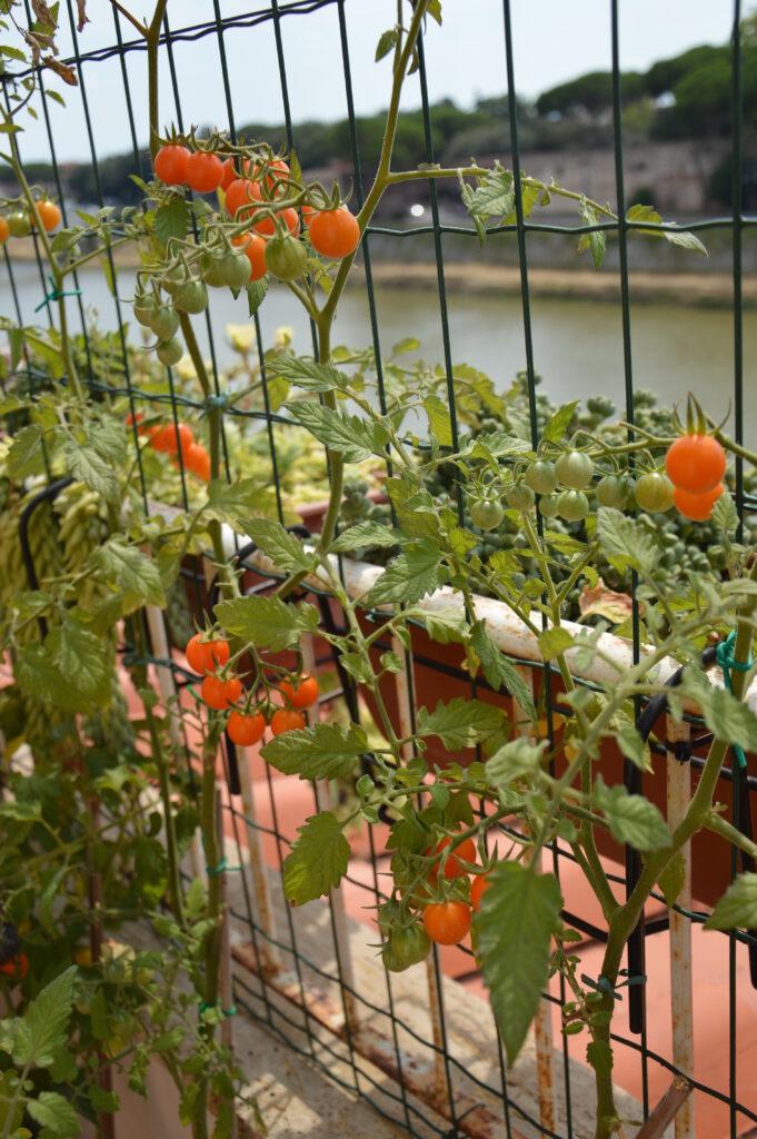 Pomodorini arancioni, luglio 2020.
