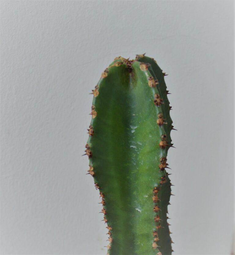 Euphorbia eritrea.