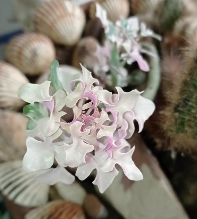 Fiore di senecio articulatus.