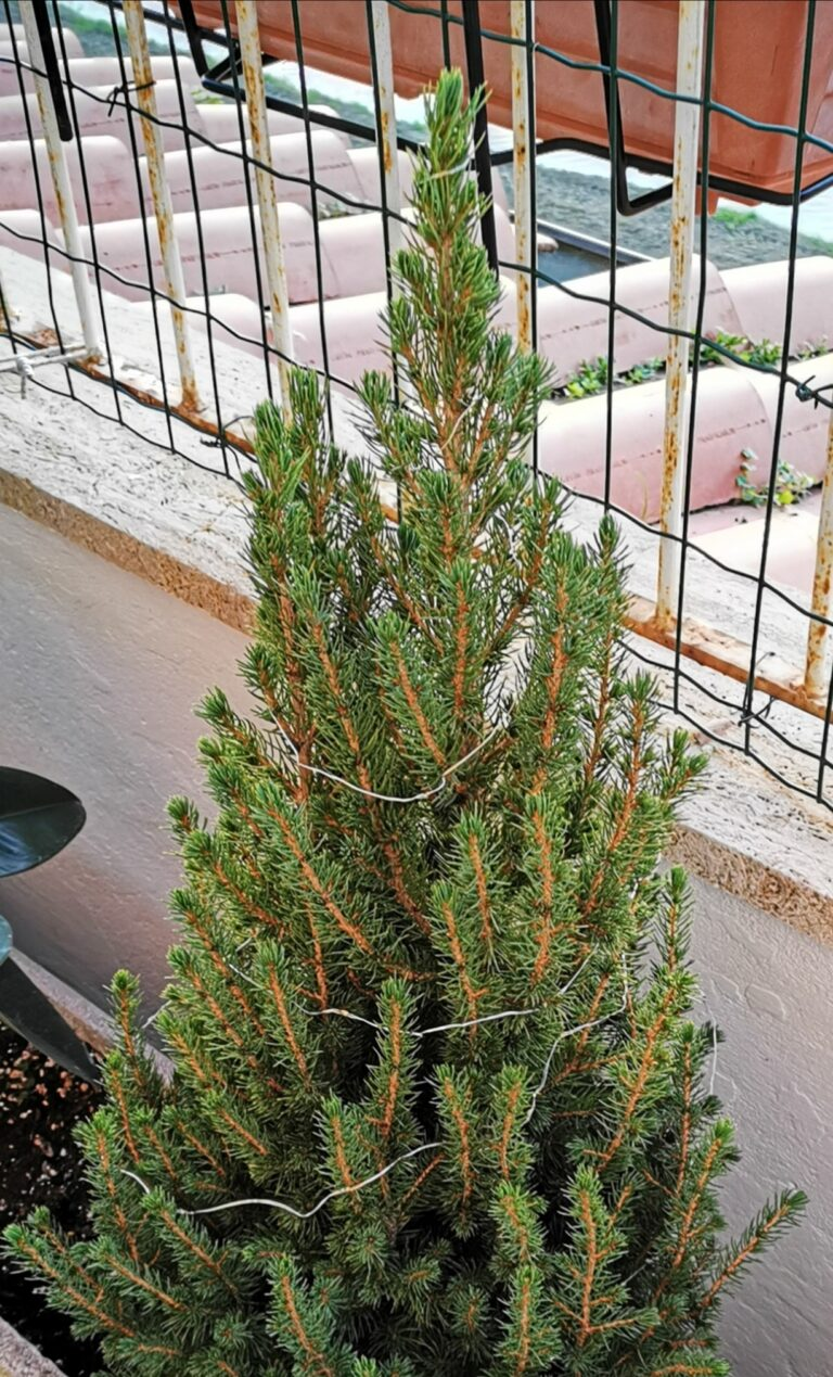 """Picea glauca """"conica""""."""