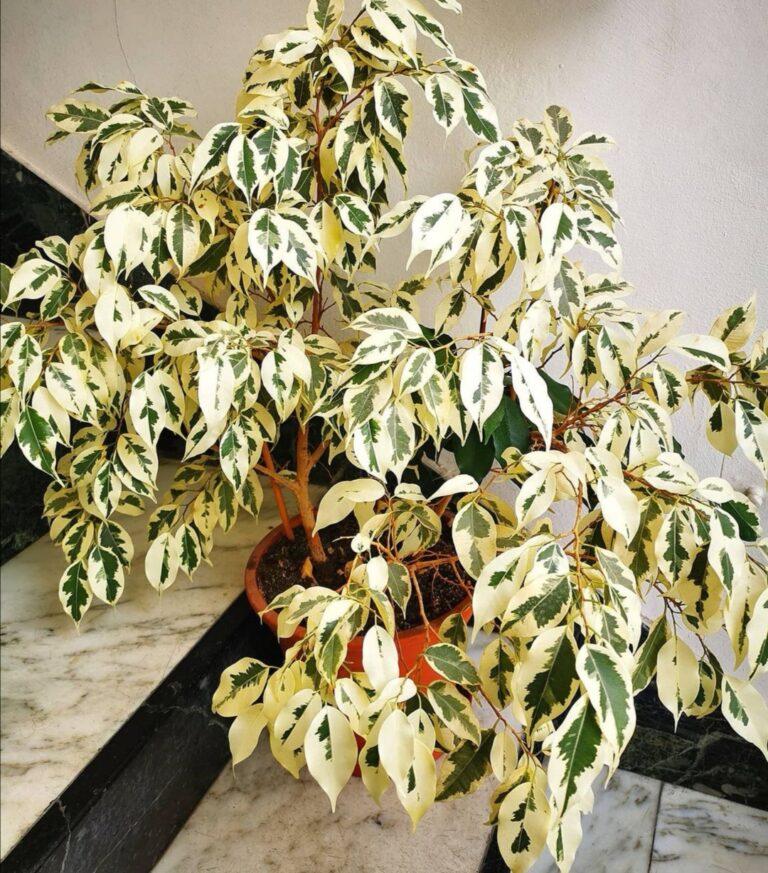 """Ficus Benjamina """"Golden King""""."""
