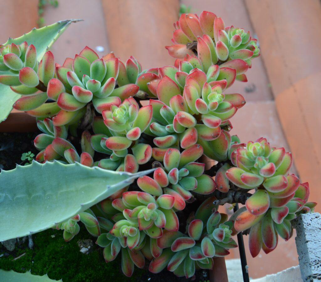 """Echeveria pulvinata """"ruby blush""""."""