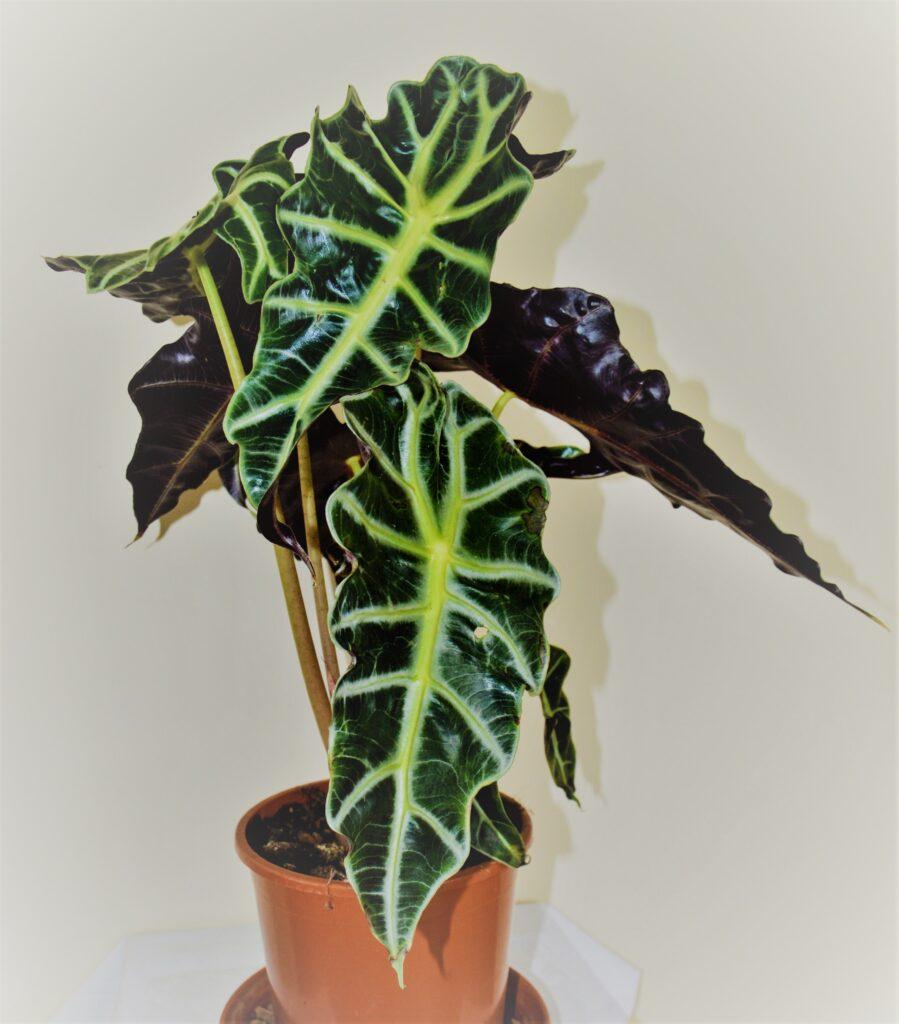"""Alocasia sanderiana, chiamata anche come """"maschera africana"""" o """"pianta di Kris""""."""