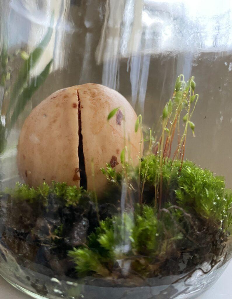 Il seme di avocado dopo soli 10 giorni nel muschio.