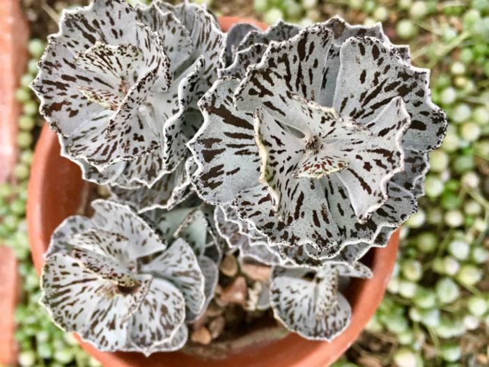 Kalanchoe rhombopilosa. Foto da https://worldofsucculents.com/