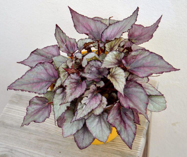 """Begonia Rex """"Morning Dew""""."""