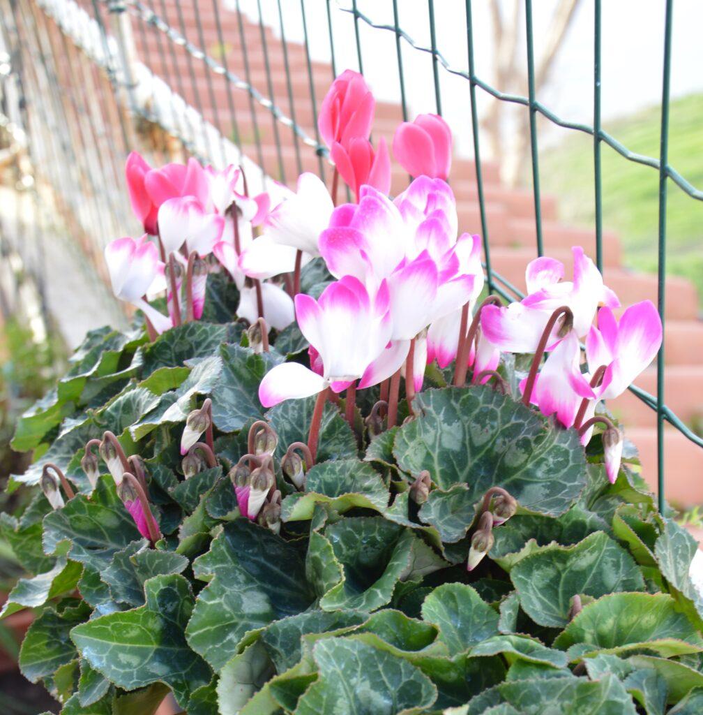 Ciclamini: la fioritura di quest'anno.