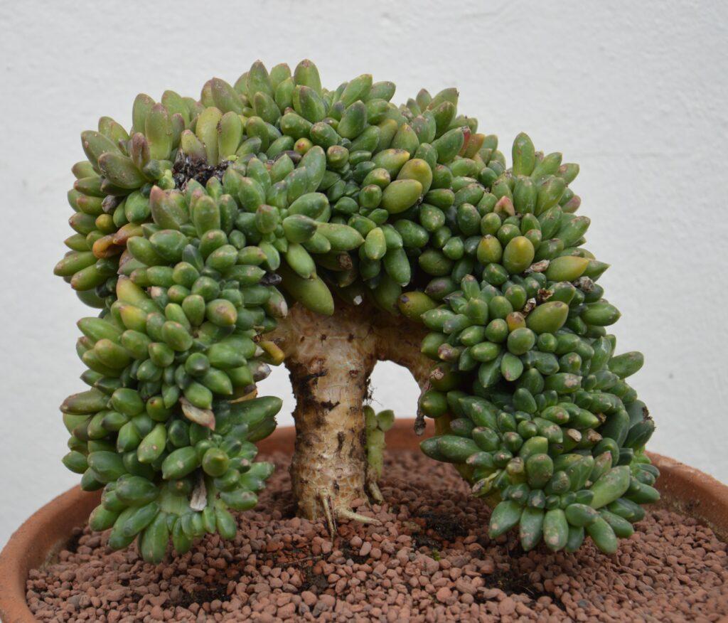 Pachyphytum compactum crestato, dopo 5 anni.