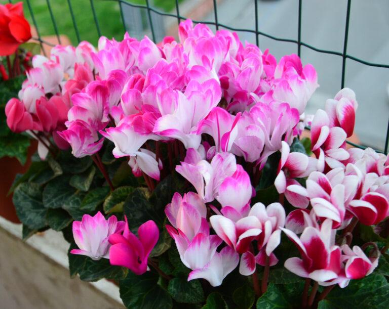 Ciclamini in fiore.