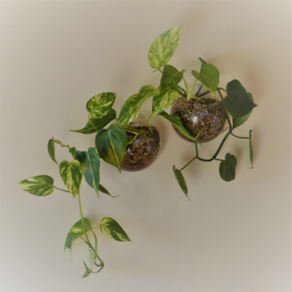 "Philodendron scandens, Philodendron scandens ""Brasil"" e il pothos nelle ampolle a parete."