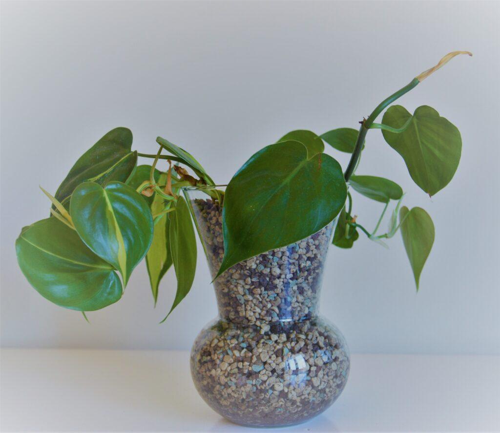 Le piante sono più vigorose con germogli molto grandi.