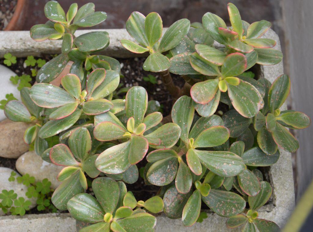 Crassula ovata tricolor, 2021.
