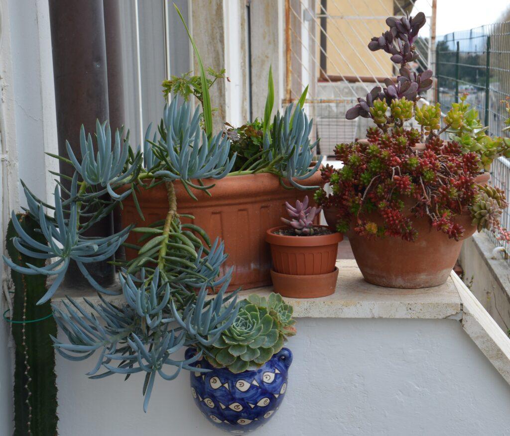 Il muretto con le succulente è cambiato molto con la crescita spettacolare del Senecio mandraliscae.