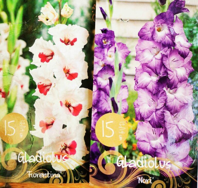 Gladioli le due varietà piantate quest'anno.