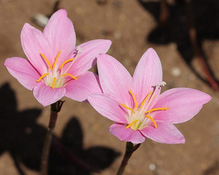 Zephyranthes carinata. Foto da https://www.florianabulbose.com/