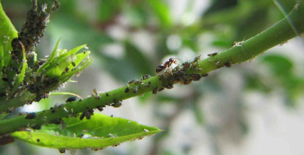 Afidi neri. Curiosità: le formiche si nutrono della melata (cacca zuccherina degli afidi) e incitano gli afidi a succhiare la linfa!