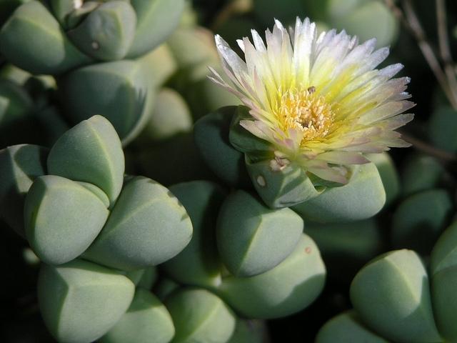Delosperma lehmannii in fiore.