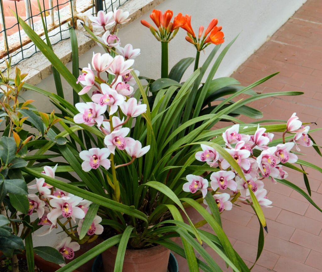 Cymbidium orchidea.