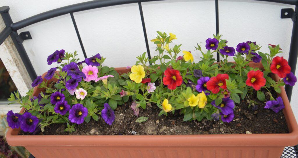 La calibrachoa o super petunia si adatta ad ogni esposizione ma preferisce il sole.