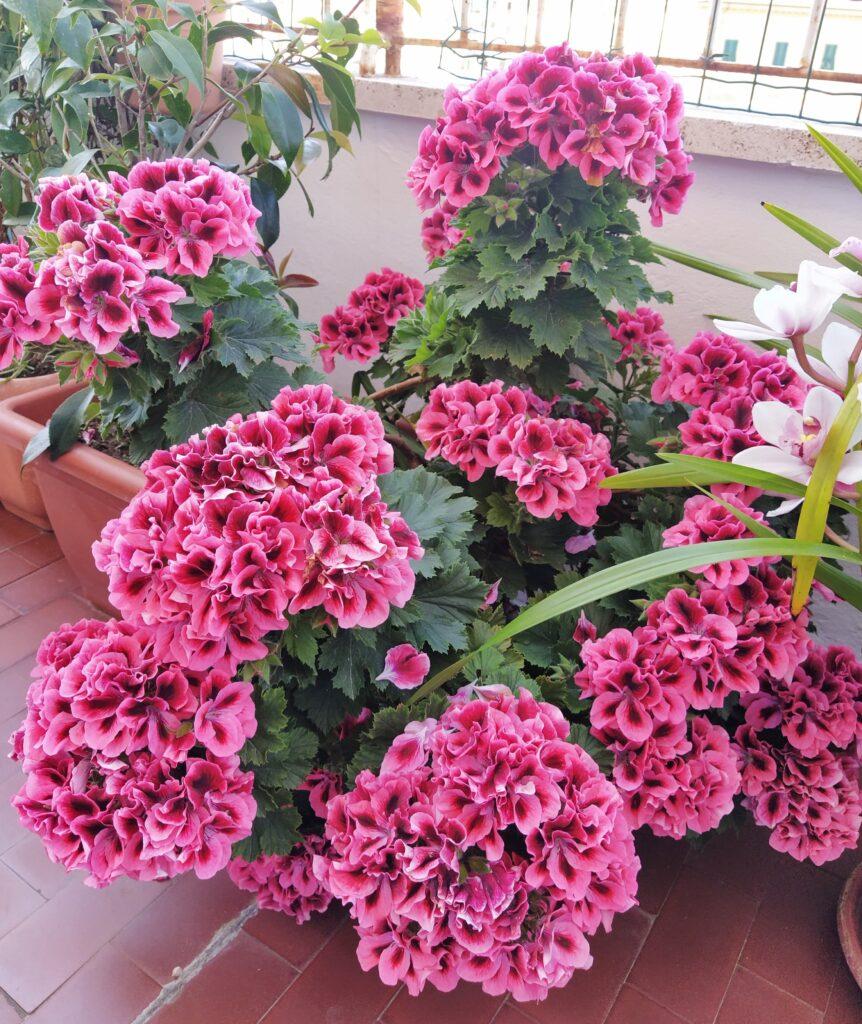 Il pelargonium imperiale nella primavera scorsa, una fioritura incredibile tra marzo e maggio.