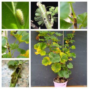 La farfallina dei gerani e come individuarla sulle piante malate.