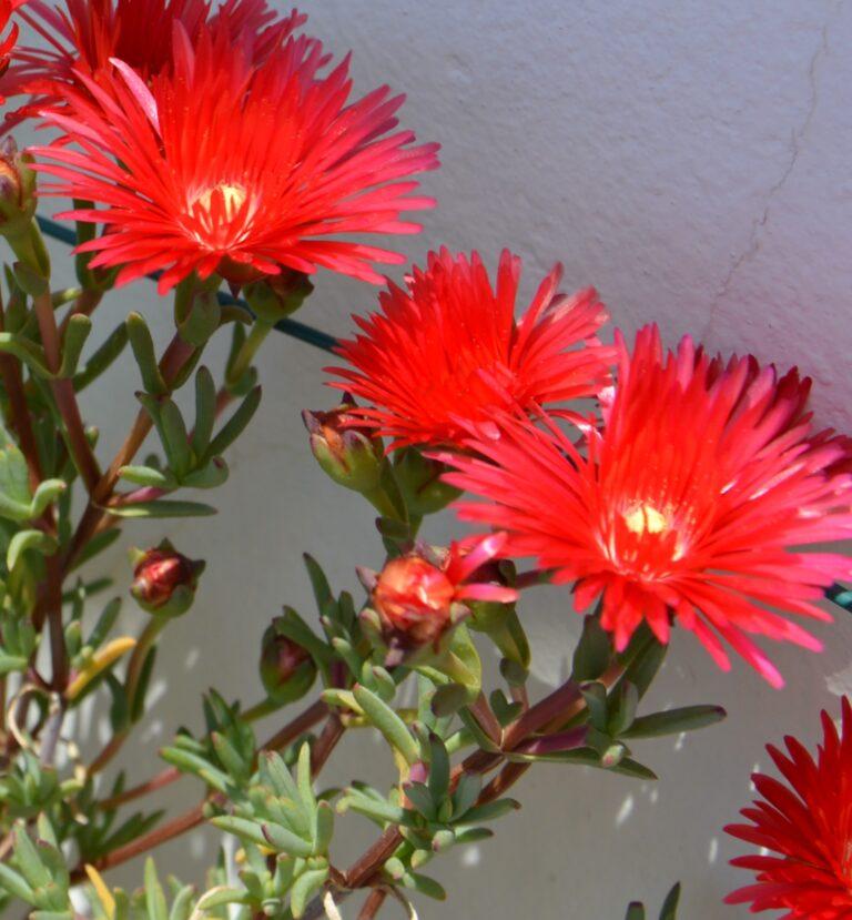 Lampranthus conspicuus.
