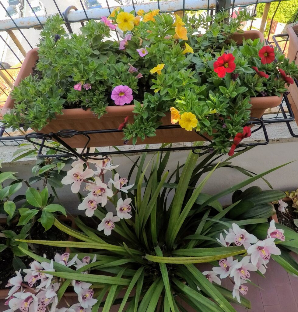 """Calibrachoa """"paradise island"""" e Cymbiudium ancora in fiore a maggio!"""