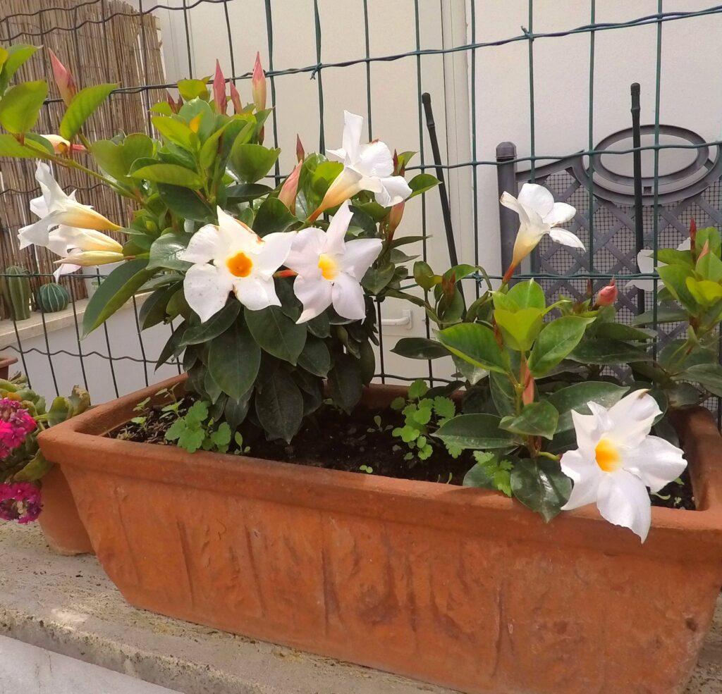 Dipladenia fiore bianco.