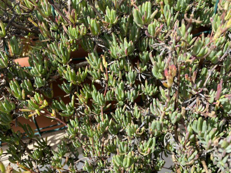 Il lampranthus dopo la fioritura e aver tagliato tutti i boccioli sfioriti.