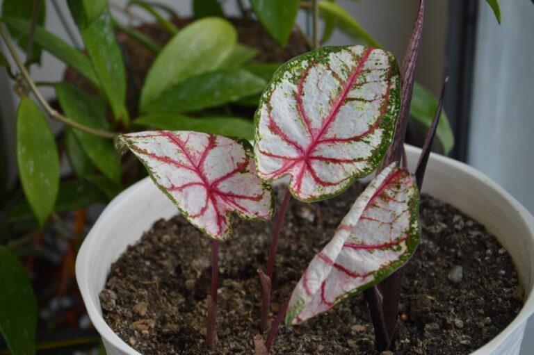 Caladium, le prime foglie.