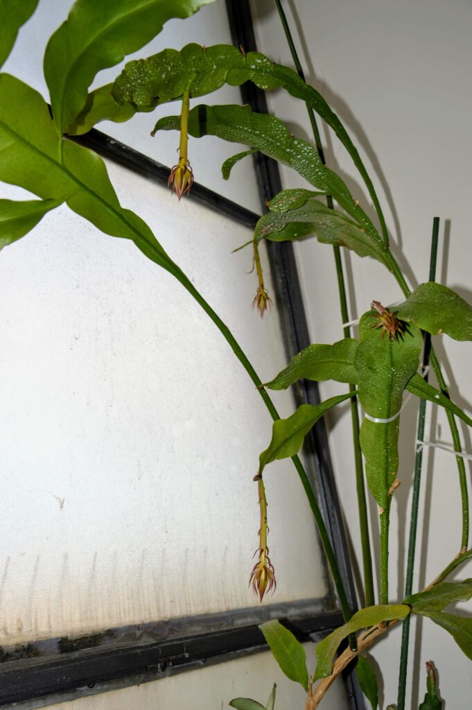 Epiphyllum oxypetalum, boccioli.