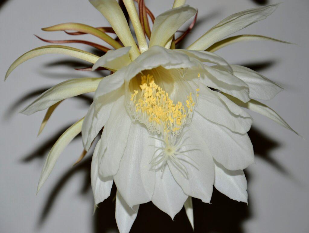Epiphyllum oxypetalum, fioritura 2021.
