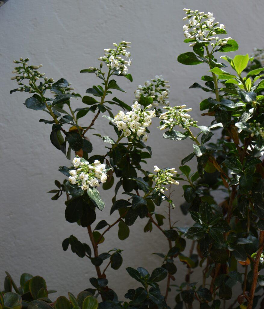 """Escallonia """"iveyi white"""", particolare."""
