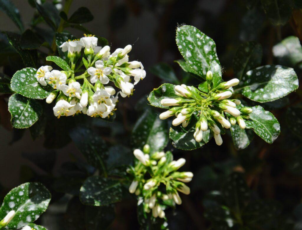 Le macchie bianche sulle foglie sono un trattamento fungicida preventivo a base di zeolite cubata.
