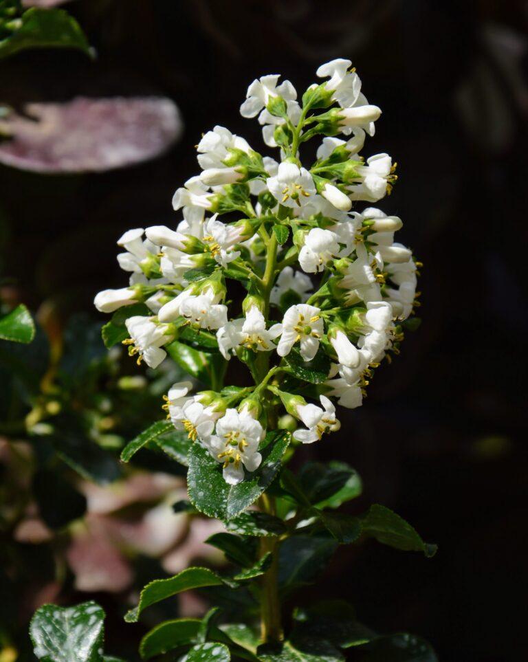 "Escallonia ""iveyi white"", fiore."