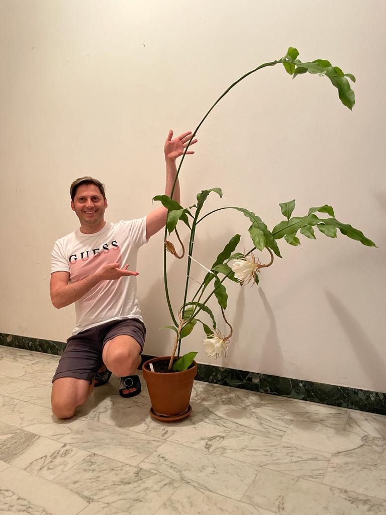 Epiphyllum oxypetalum, una foto per mostrare quanto è cresciuta in sei anni.